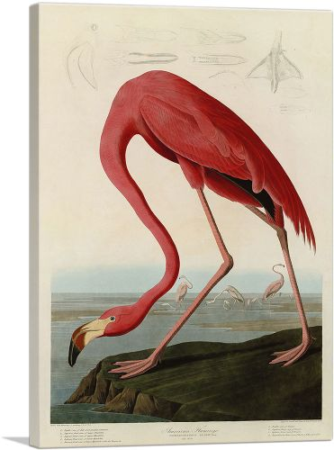 Pink American Flamingo