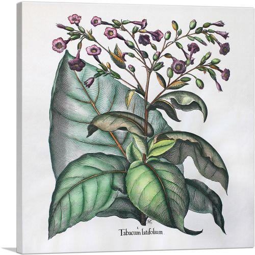 Tobacco Plant - Tabacum Latifolium