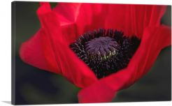 Albanian Poppy National Flower of Albania