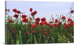 Field of Albanian Poppies