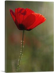Albanian Poppy National Flower of Albania On Green-1-Panel-40x26x1.5 Thick