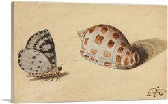 An Arrowhead Blue Butterfly and a Scotch Bonnet Sea Shell