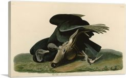 Black Vulture - Carrion Crow