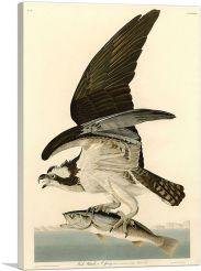 Fish Hawk - Osprey