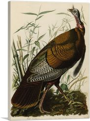 Great American Cock - Wild Turkey