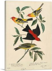 Louisiana Scarlet Tanager