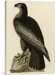 Bald Eagle - Bird of Washington