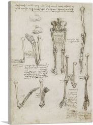 Studies of the Human Body - Bones of the Arm and Leg