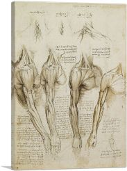 Studies of the Human Body - Muscles of the Shoulder, Arm and Neck