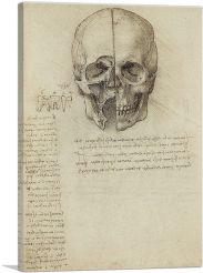 Studies of the Human Body - Skull