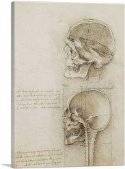 Studies of the Human Body - The Skull