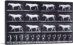 White Horse - Animal Locomotion