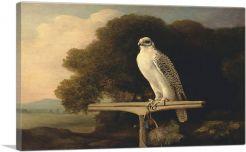 Greenland Falcon 1780