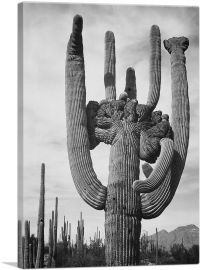 Cactus - Saguaro National Monument - Arizona