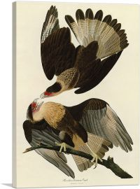 Brasilian Caracara Eagle