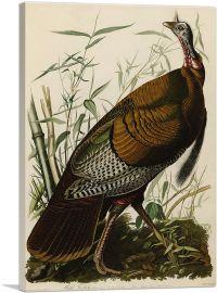 Great American Cock - Wild Turkey
