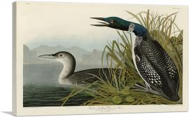 Great Northern Diver - Loon