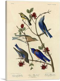 Townsend's Warbler - Arctic Blue-Bird - Western Blue-Bird