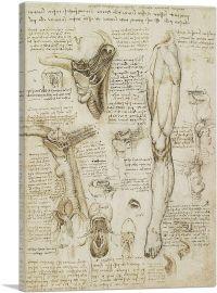 Studies of the Human Body - Leg and Pelvis