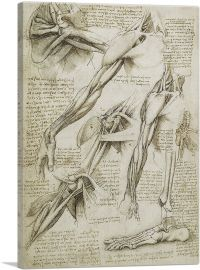 Studies of the Human Body - Muscles of the Arm and Foot