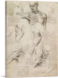 Studies of the Human Body - Superficial Anatomy of the Shoulder and Neck 1510