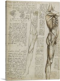 Studies of the Human Body - The Muscles of the Leg