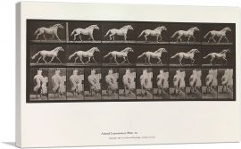 Animal Locomotion - White Horse 1885