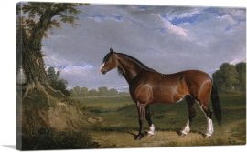 A Clydesdale Stallion